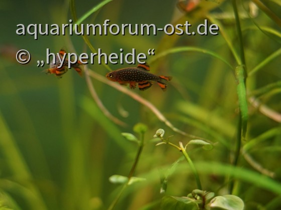 "Junge Perlhuhnbärbling-Männchen beim ""Duell"""