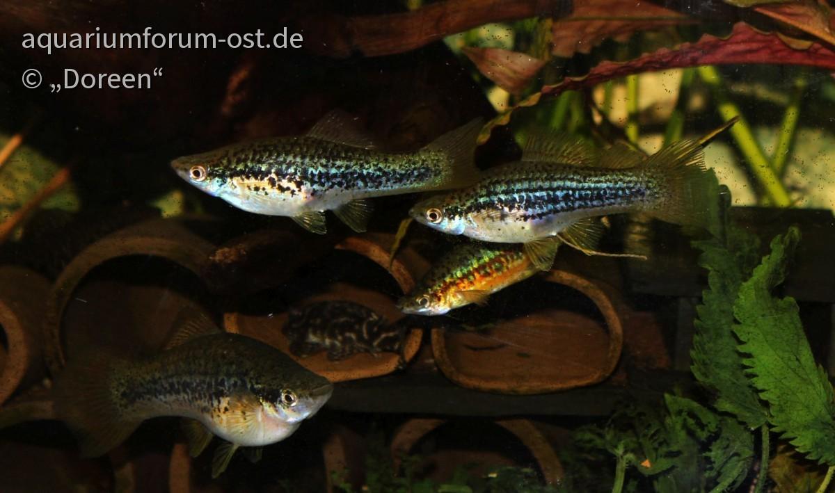 Xiphophorus helleri - Aquarienstamm Paul Hauer