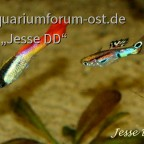 'Golden Nugget' und Wildguppy