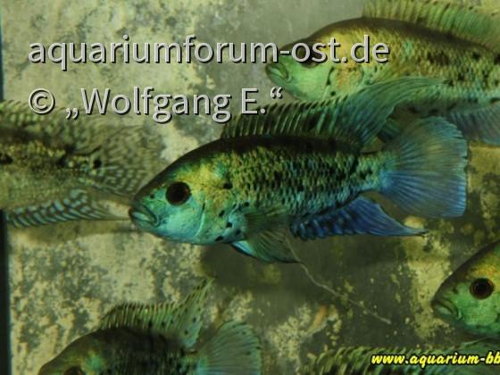 """junge Cichlasoma octofasciatum  """"Blue Dempsey"""""""
