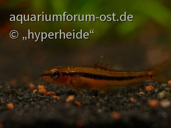 Yunnanilus sp. rosy, Männchen