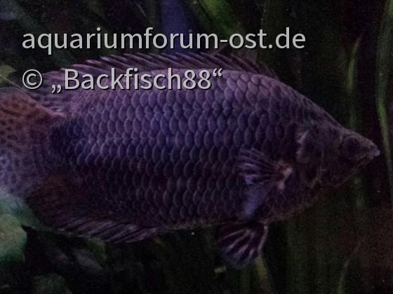 Leopard-Buschfisch (Ctenopoma acutirostre)