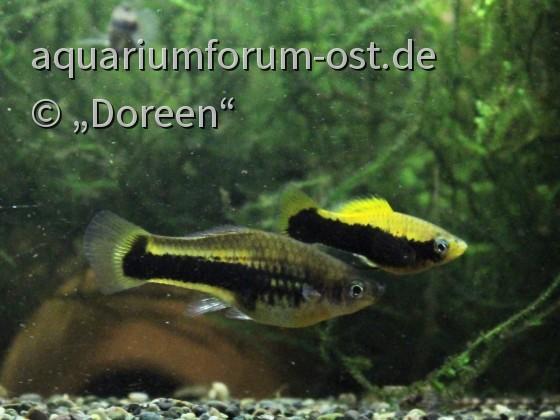 """Xiphophorus variatus """"Tampico"""" - Männchen und Weibchen"""