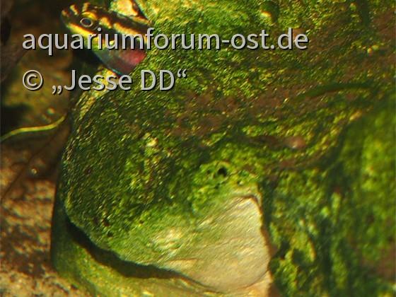 Pelvicachromis pulcher - Weibchen bewacht das Gelege