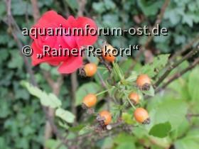 Die letzten Blüten der roten Strauchrose  'Nina Weibull' 2017