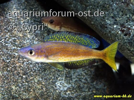 "Cyprichromis microlepidotus ""Magara"""