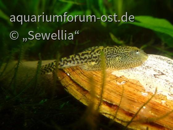 Sewellia sp. SEW04