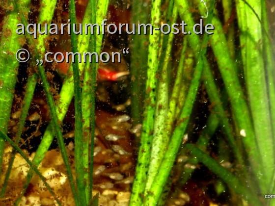 Pelvicachromis taeniata