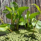 Rundblättriger Froschlöffel (Alisma parviflora)