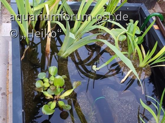 Eichhornia 50% vom kläglichen Rest, aber erfolgreich überwintert