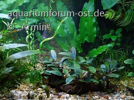 """Helantium bolivianum """" Vesuvius """""""