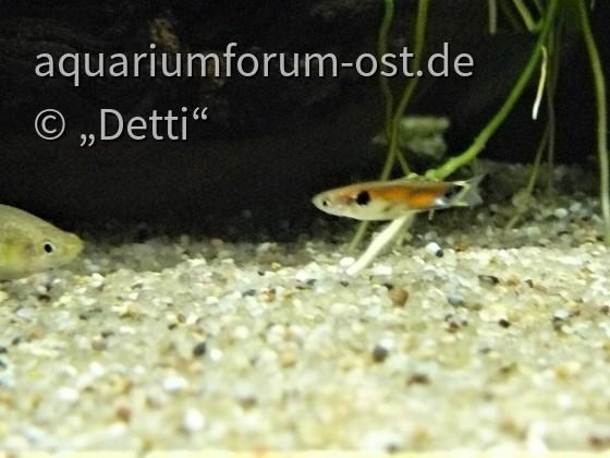 """P. reticulata """" Rio Tefe"""""""