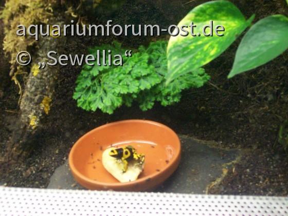 Pfeilgiftfrosch im ZOO Aschersleben