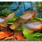 Mosaikfadenfische (Trichogaster leeri) auf unserer letzten Ausstellung