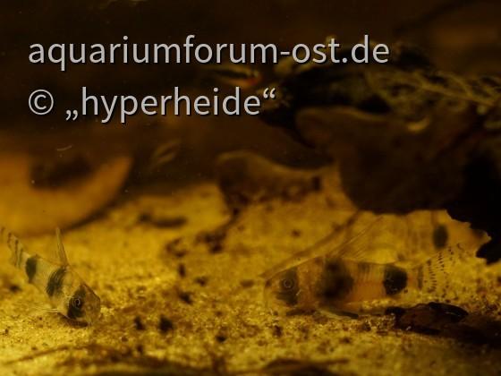 Tucano-Panzerwelse (Corydoras tukano, C64)