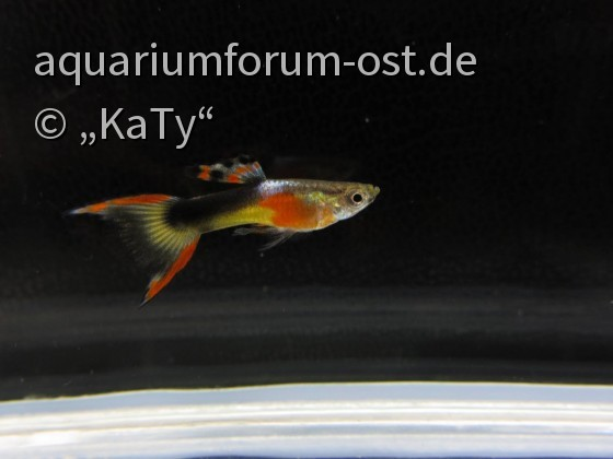 'Red Chest Saddleback' Endler Hybrid