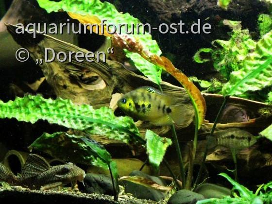 Krobia xinguensis - Nachzucht mit Cryptoheros altoflavus und Hypancistrus sp. L66