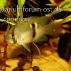 Cleithracara maroni, Maroni-Buntbarsch
