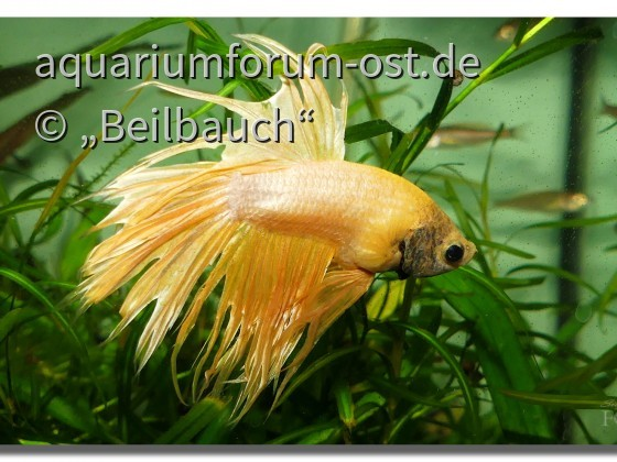 Betta splendens Zuchtform