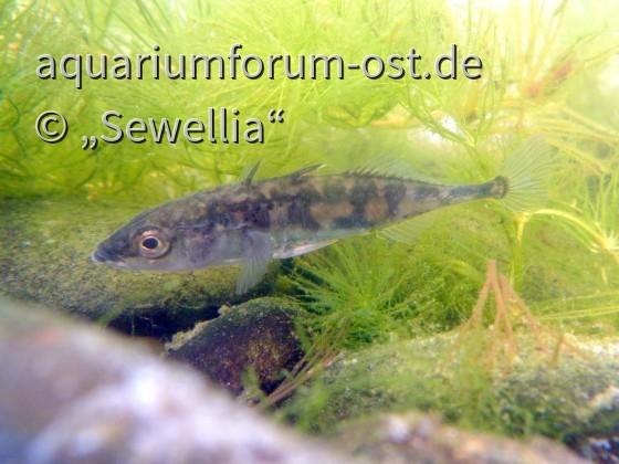Dreistachliger Stichling (Gasterosteus aculeatus)