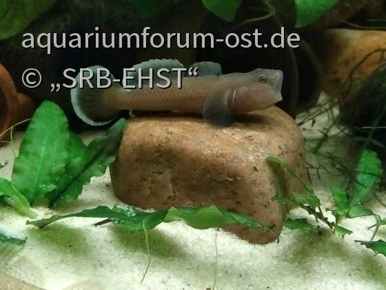 Rhinogobius rubromaculatus (grau) / Rotpunktgrundel