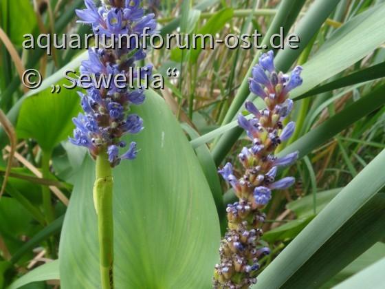 Herzblättriges Hechtkraut blüht (Pontederia cordata)