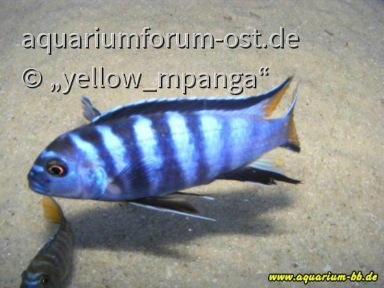 Pseudotropheus mpanga yellow thin