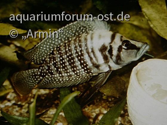 Weibchen von Altolamprologus calvus