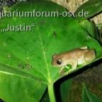 Afrixalus dorsalis
