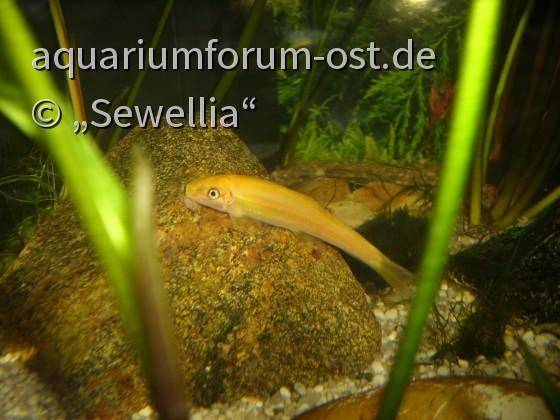 Siamesische Saugschmerle var. 'Gold' (Gyrinocheilus aymonieri)