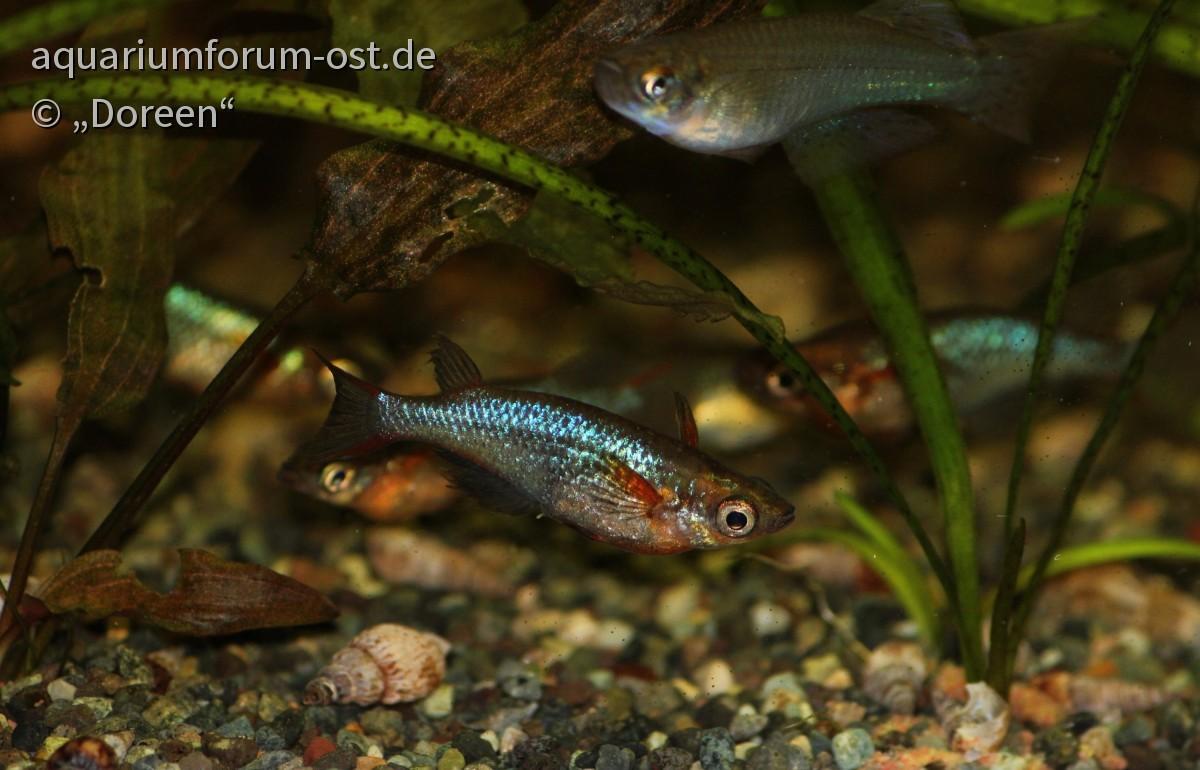 Oryzias woworae (Neon-Reisfisch) - Männchen