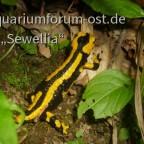Feuersalamander (Salamandra salamandra terrestris) Gebänderte Unterart