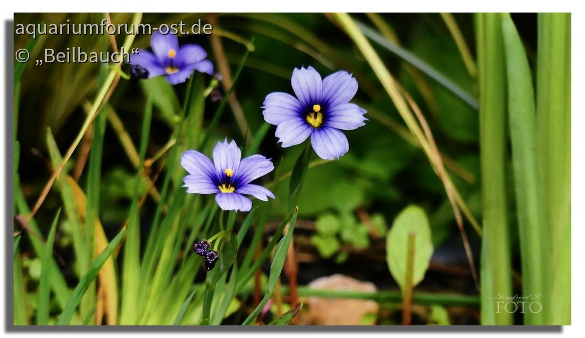 Schöne kleine Sumpfpflanze für den Teichrand - Grasschwertel auch blaue Binsenlilie (Sisyrinchium) genannt