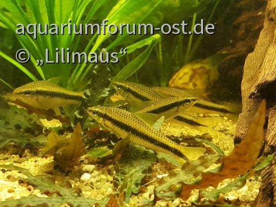 Siamesische Algenfresser. Crossocheilus siamensis