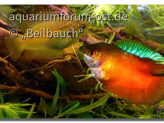 Zwergfadenfisch, Colisa lalia rot, Paar
