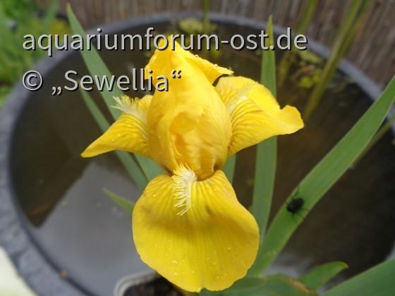 Niedrige Bart-Iris Blüte (Iris barbata-nana) 'Gleaming Gold'