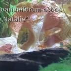 Sogenannten Erdbeerfische