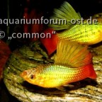 Imponiergehabe bei Xiphophorus variatus (Fundortvariante: Blankenfelde -Mahlow bei Matze)