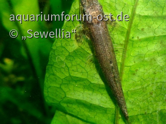 Zollingers Sattelfleckschmerle (Balitoropsis zollingeri)