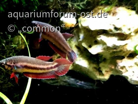 Betta rubra, Roter Aceh-Kampffisch