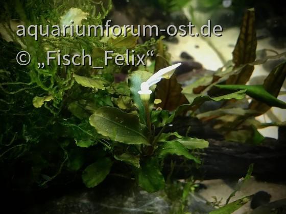 Blühende Bucephalandra