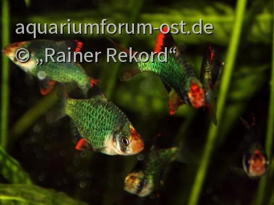 Moosgrüne Sumatrabarbe oder Viergürtelbarbe (Puntigrus cf. tetrazona) 4