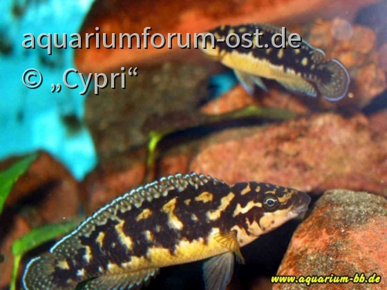 Julidochromis trancriptus