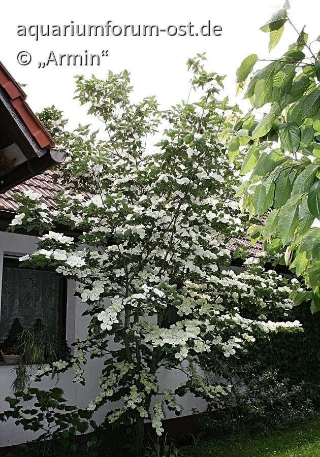 Japanischer Blütenhartriegel
