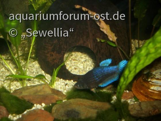 Kampffisch Weibchen