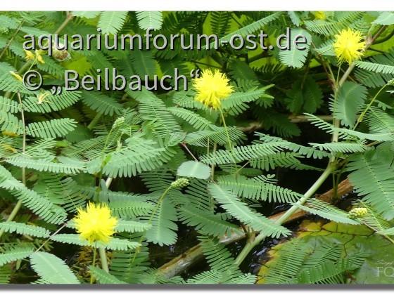 Wasser-Mimose (Neptunia oleracea)