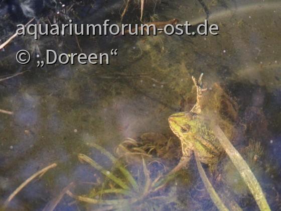 Frosch und Teichmolch im Gartenteich
