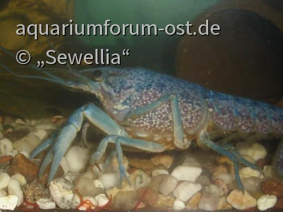 Blauer Floridakrebs  (Procambarus alleni)