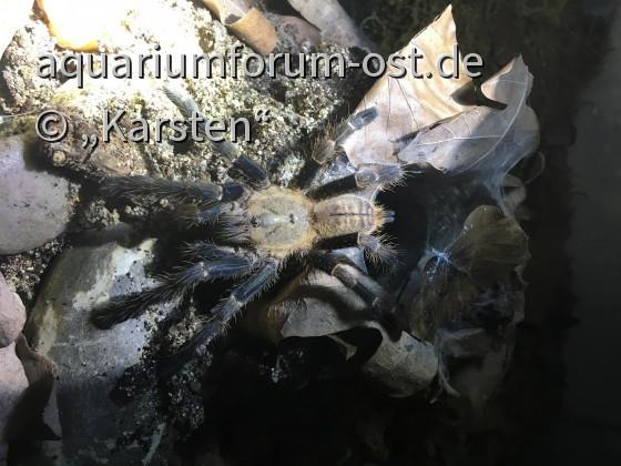 """0.1 """"Haplopelma"""" robustum (spec. Blue Femur)/ Cyriopagopus robustus ... subadult"""