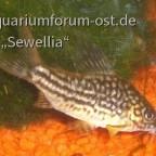 Napo-Panzerwels (Corydoras napoensis)